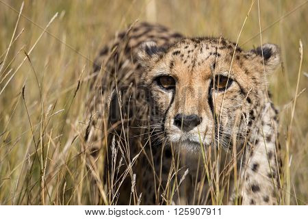 Cheetah Portrait In Tall Grass