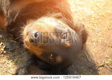 Longhaired Dachshund Basking In The Sun