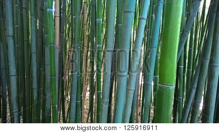 Slender stalks of bamboo (Phyllostachys viridiglaucescens) in Crimea