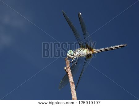 Blue eyed green bodied dragonfly on a stick with sky behind