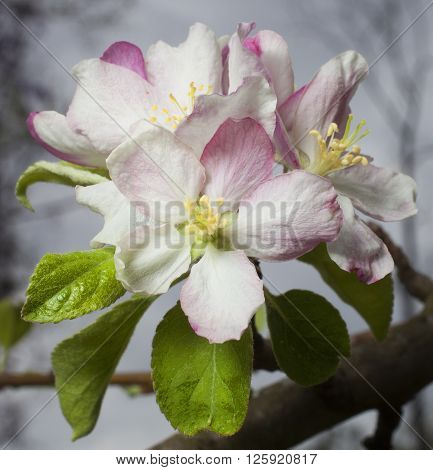 Flowers in the spring on a granny smith apple tree