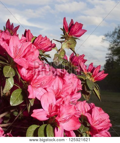 Azalea bush full of pink flowers with clouds and sky behind