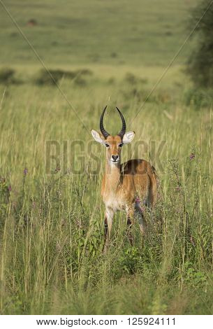 Lonely impala in the savanna of Murchison Falls National Park in Uganda, Africa
