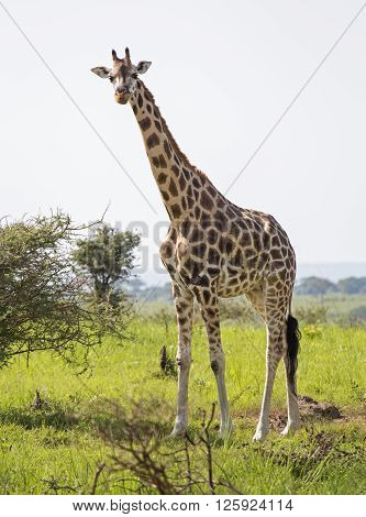 African giraffe at the savanna at Murchison Falls National Park in Uganda, Africa