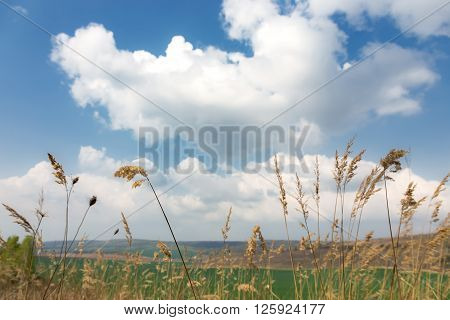 Wheat Ears and clouds behind them in sunny day