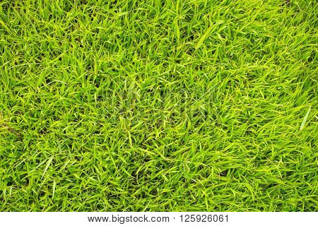 Green grass background natural texture outdoor from above
