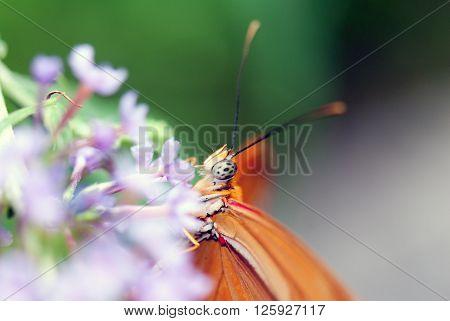 A macro shot of a butterfly (Dryas Julia) on a flower