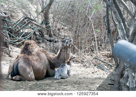 A mother dromedary with its cute baby