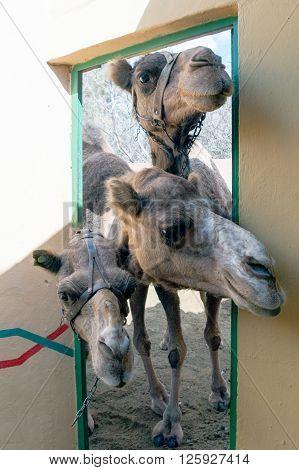 A group of curious camel (dromedaries) in a door
