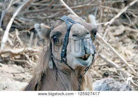 A group of a dromedary (head detail)