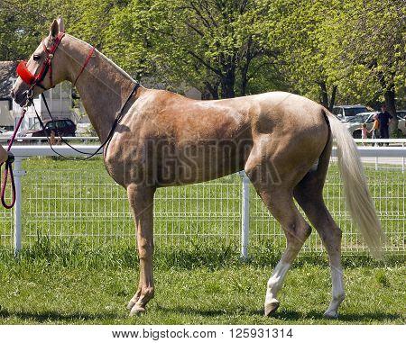 The winner of the prize Vesenniakhal-teke stallion Rahman,Pyatigorsk. ** Note: Visible grain at 100%, best at smaller sizes