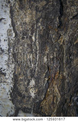 Textured background - birch bark. Photo of bark of old birch trees. ** Note: Shallow depth of field