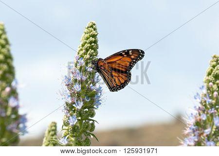 A macro shot of a monarch butterfly