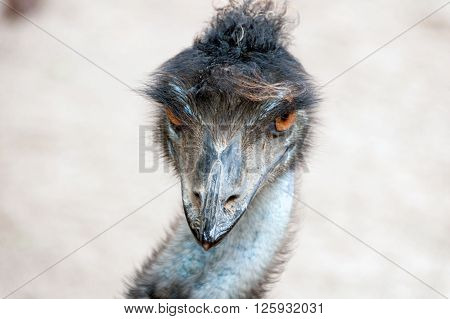 A macro shot of an emu (head detail) ** Note: Soft Focus at 100%, best at smaller sizes
