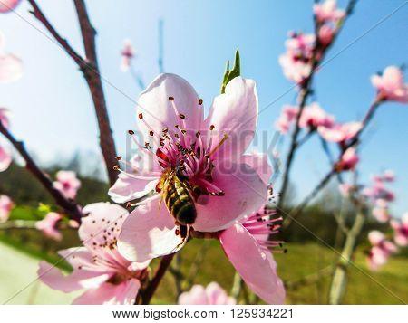 bee began work in spring pink flowers
