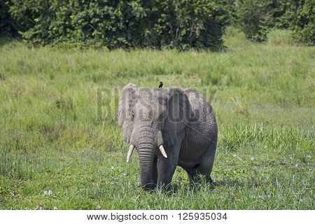 Big African elephant with a small bird in the savanna at the Murchison Falls National Park savanna in Uganda, Africa