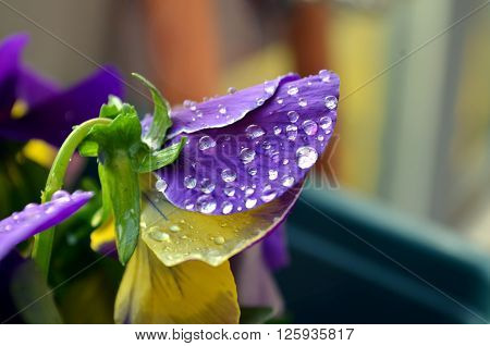 Macro Purple Primrose With Raindrop