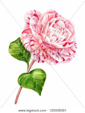 A watercolor drawing of a flower named camellia japonica 'Extravaganza' white with pink stripes on a stem with two green leaves hand painted on white background vintage style