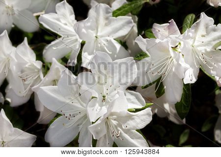 White flowers on a azalea bush with dark background