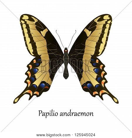 Illustration of American Bahamas Swallowtail Butterfly - Papilio Andraemon
