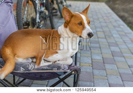Cute basenji having rest on a back yard sitting in an old collapsible chair