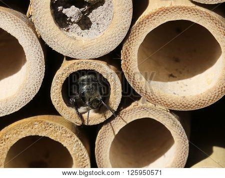 Mason Bee peeking out of a bamboo nest