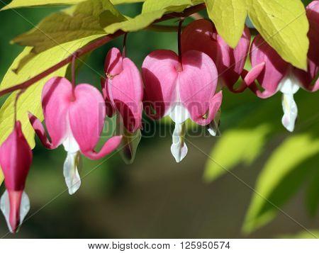 Golden Bleeding Heart - Dicentra spectabilis 'Gold Heart'