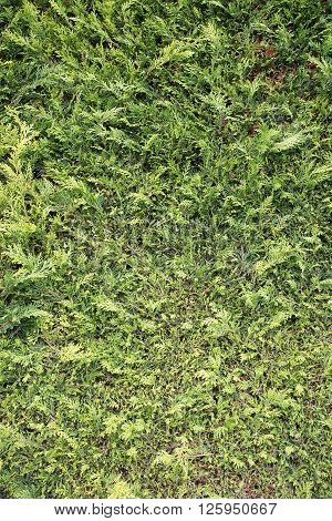 Close up view of a green hedge
