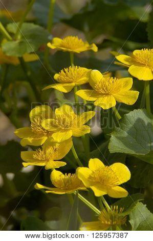 Marsh Marigold - Caltha palustris Flowers against leaf background.