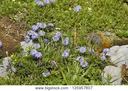 Matted Globularia - Globularia cordifolia Whole plant in alpine turf