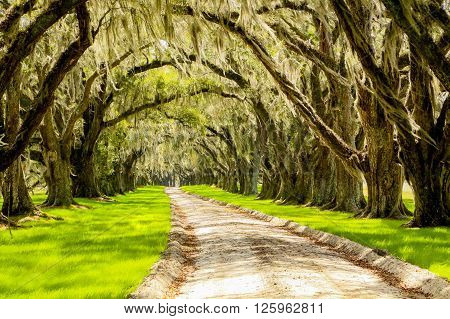 This is the driveway to an old southern plantation with the old draping oak trees forming a natural archway with the signature Spanish Moss blowing in the wind.  Photo taken from the road as passed by.