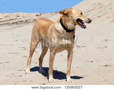 Podenco crossbreed with short tail on beach with collar