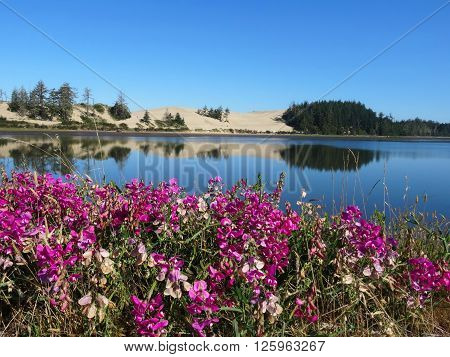 Coastal dunes are reflected in the calm surface of a mouth of a river. In contract to the dry environment of the dune a lush field of purple pea flowers flourish in the foreground. Coos Bay, Oregon, USA.
