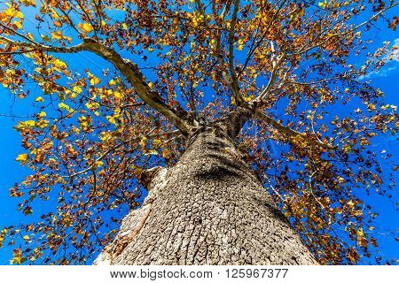 Interesting View Up Side of Tree with Fall Foliage.