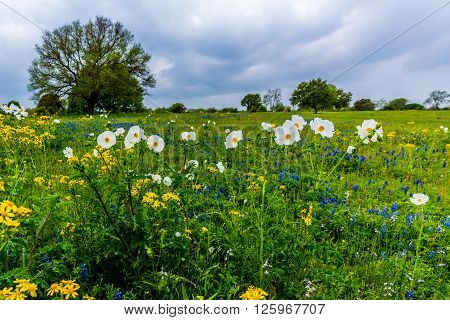 Various Texas Wildflowers In A Texas Pasture