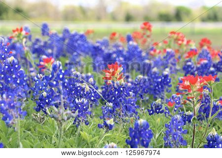 Blue Bonnet and Indian Paintbrush are at full boom in Brenham, TX