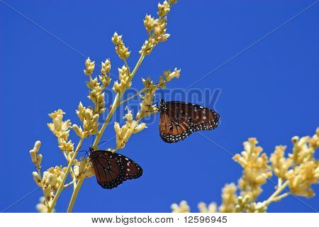 Two Butterflies Feeding On Boojum Flowers