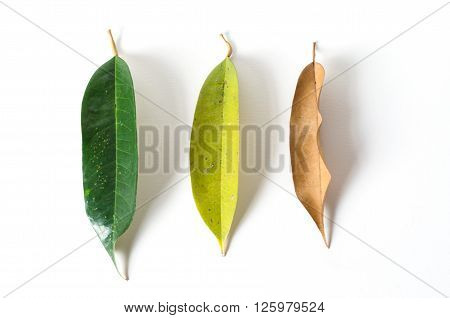 green leaves and dry leaves on white background durian leaves