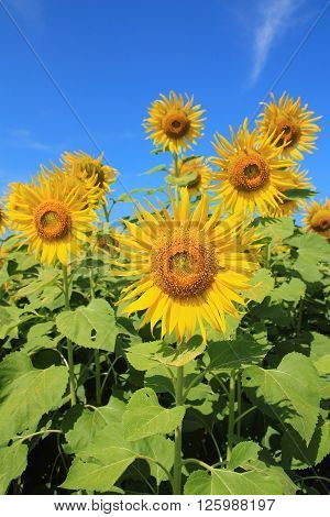 sunflowers in nature with blue sky, with sunflowers farm, with sunflowers garden, with sunflowers concept, with sunflowers summer, with sunflowers background.