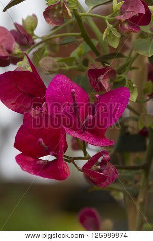 bouganvillea in the garden in spring season