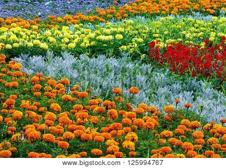 Orange and yellow marigold flowers red Scarlet Salvia on flowerbed. Summer background.