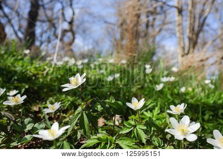 Wood anemone blossoming during springtime in Norrkoping, Sweden