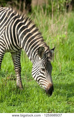 Zebra In Green Grasslands