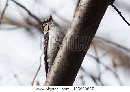 Lesser Spotted Woodpecker female sitting on a tree branch