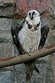 Condor On A Branch