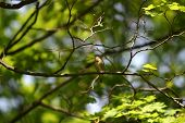 picture of nightingale  - the nightingale sits on a branch of a tree with dismissed leaves - JPG