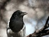 Magpie On A Branch.