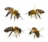 image of honey-bee  - Bees Collection - JPG