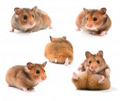 stock photo of gerbil  - Funny Hamsters Collection - JPG