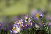 Bee And Crocus Flowers